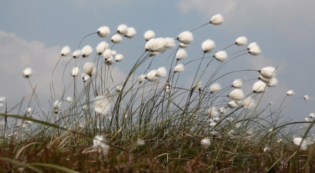 50Steps_CottonGrass smaller